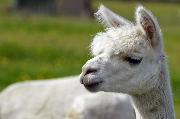 alpaca-424831_640